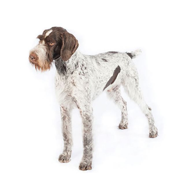 Puntero Wirehaired alemán
