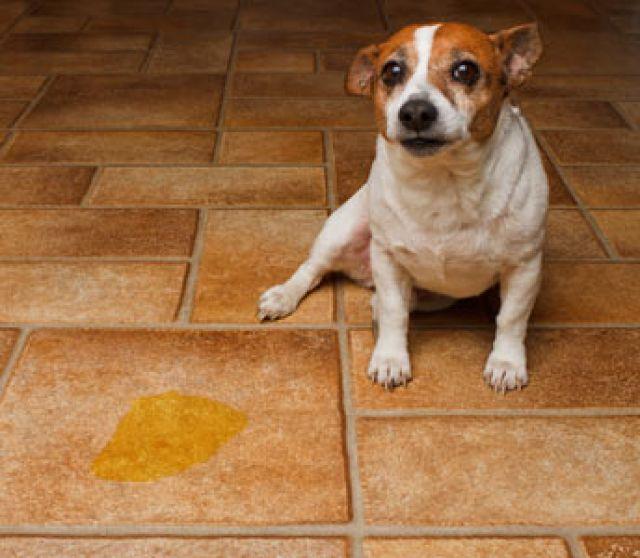 perro con micción frecuente y frecuente