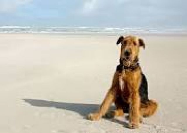El Airedale Terrier Perritos Hc