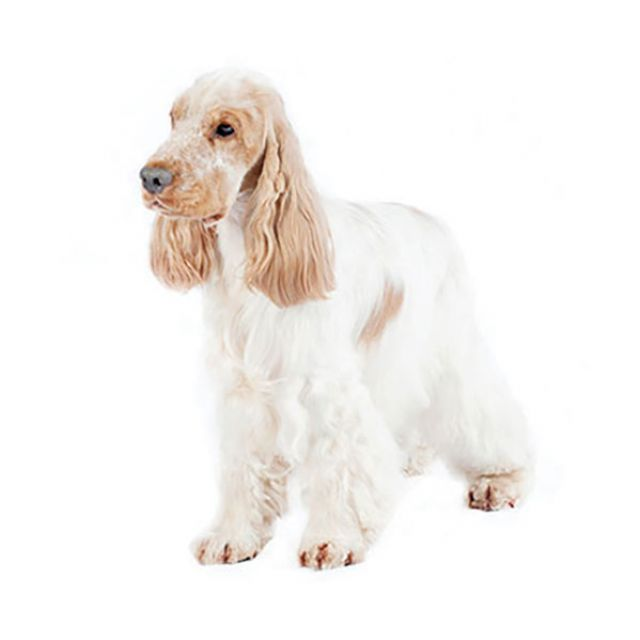 Cocker Spaniel Inglés