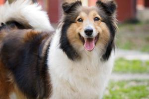 Hemorragia del pulmón en perros