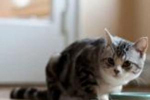 Cómo cambiar de comida para gatos seca a enlatada