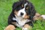 Inflamación de la arteria en perros