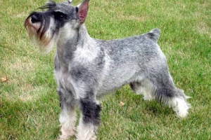 Capillariasis en perros