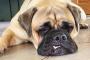 5 razas grandes que hacen de buenos perros de apartamentos