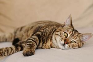 Reflujo ácido en los gatos
