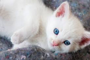 Infección por E. coli en gatos
