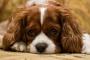 Malformación de válvula cardíaca en perros