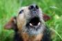 Colección de líquido en los pulmones (no debida a enfermedad cardíaca) en perros