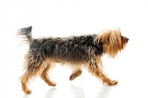 Incoordinación de las piernas en los perros