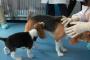 Trastornos mieloproliferativos en perros