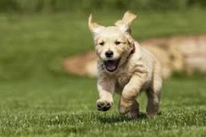 Estómago y cáncer intestinal (leiomiosarcoma) en perros