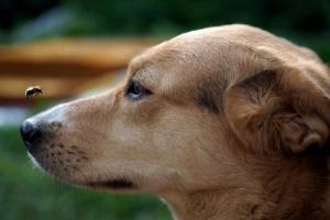 Anafilaxia en perros: síntomas, causas y tratamientos