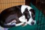 Cáncer de páncreas (glucagonoma) en perros