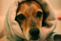 Infección parasitaria intestinal (estrongiloidiasis) en perros