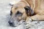 Diabetes con cuerpos de cetona en perros