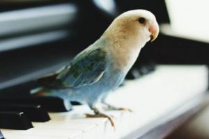 Cómo enseñarle a su ave a cantar