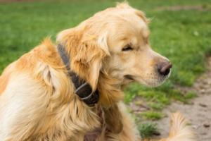 Trifexis para perros: usos, dosis y efectos secundarios.