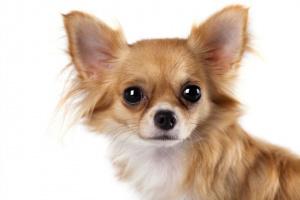 Degeneración del iris en el ojo en perros