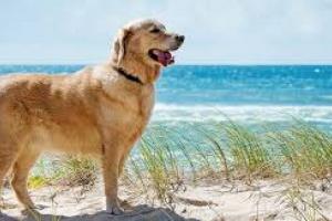 Acumulación de ácido láctico en perros