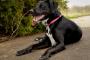 Insuficiencia cardíaca, congestiva (lado izquierdo) en perros