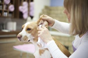 Peróxido de hidrógeno en los oídos: ¿es bueno para tu perro?.