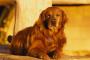 Fístula hepática en perros
