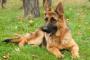 Inflamación de la piel en las patas en los perros