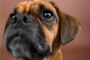 Tumor uterino en perros