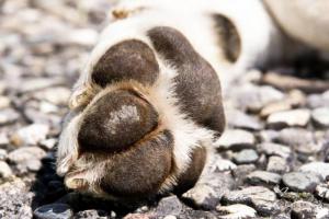 Cómo curar las almohadillas de pata agrietadas en un perro