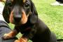 Flujo anormal de orina debido a la disfunción de la vejiga urinaria en perros