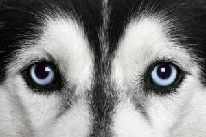 Distrofias corneales en perros