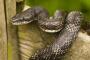 Las serpientes de rata negra como mascotas