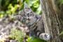 Hipomielinización en gatos