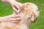 Cómo chequear a su mascota por problema de garrapatas