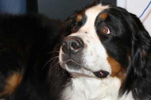 5 cosas que debes considerar antes de obtener un perro de raza grande