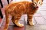 Razones por las que un gato no maúlla
