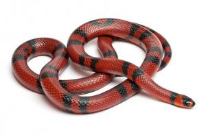 El cuidado que debe tener con su serpiente real, o su coral ratonera