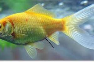 Infección de las branquias en los peces
