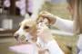 Cómo limpiar las orejas de su perro de forma adecuada