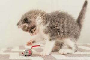 Gatitos jugando: lo que debería saber