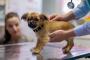 Criptorquidia (Testículos Retenidos) en Perros: Síntomas, Causas y Tratamientos