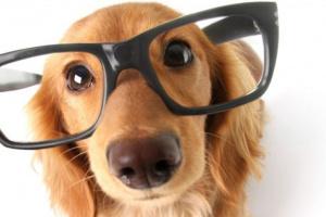 Polidipsia en perros