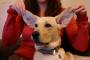 3 consejos para hacer las limpiezas del oído más agradables para su perro.
