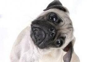Orejas de perro y audiencia
