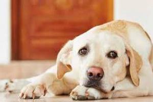 Meningitis, meningoencefalitis, meningomielitis en perros