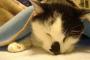 Cáncer del conducto biliar en los gatos