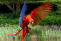 Identificación de aves: los loros rojos más comunes