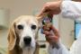 Hematoma del oído en perros