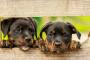 Anécdotas: perros sonrientes: Archie y Wrigley